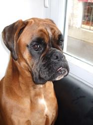 Gala, chien Boxer