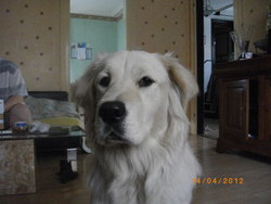Gala, chien Golden Retriever