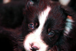 Gala, chien Border Collie