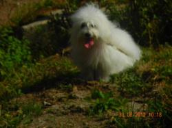 Gala, chien Coton de Tuléar