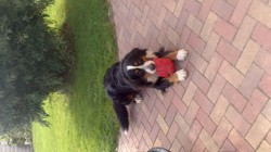Gala, chien Bouvier bernois
