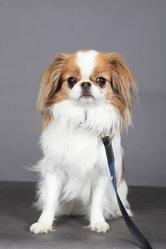 Galaad, chien Épagneul japonais