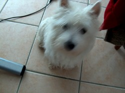 Galac, chien West Highland White Terrier