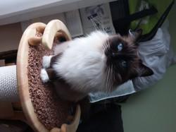 Galadriel, chat Ragdoll