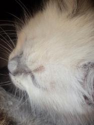 Galak, chat Siamois