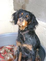 Galak, chien Épagneul breton