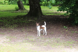 Galak, chien Fox-Terrier