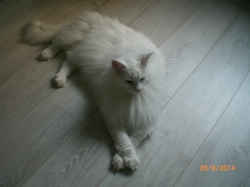 Galak, chat Maine Coon