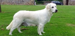 Galak, chien Golden Retriever
