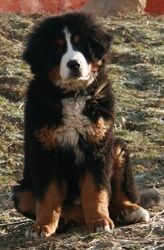 Galak, chien Bouvier bernois