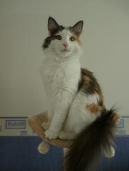 Galantine, chat Norvégien