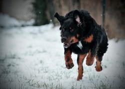 Galaxie, chien Beauceron