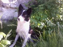 Galaxie, chien Border Collie