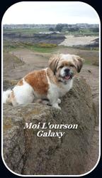 Galaxy, chien Lhassa Apso