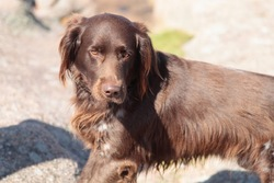 Epson, chien Petit Münsterländer