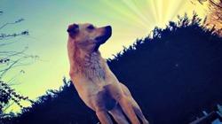 Galaxy, chien