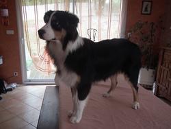 Galaxy, chien Berger australien