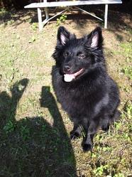 Galaxy, chien Spitz allemand