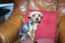 Galbi, chien Yorkshire Terrier