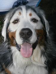 Galbo  Du Domaine Du Roi Richard, chien Bouvier bernois