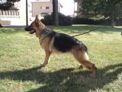 Galea, chien Berger allemand