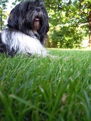 Galea, chien Shih Tzu