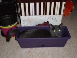 Galène, chat Bleu russe