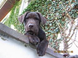 Galeo, chien Labrador Retriever