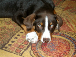 Galéopsis, chien Bouvier d'Appenzell