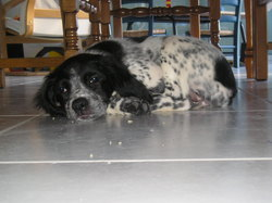 Galia, chien Épagneul breton
