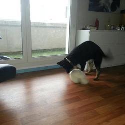 Galia, chien Berger allemand