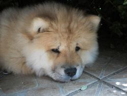 Galia, chien Chow-Chow