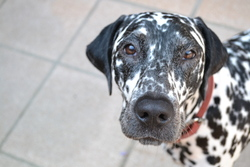 Galia, chien Dalmatien
