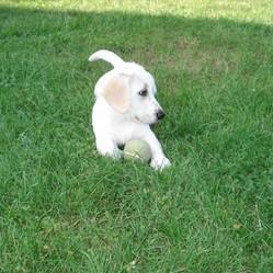 Galia, chien