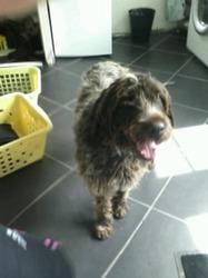 Galia, chien Griffon à poil dur Korthals
