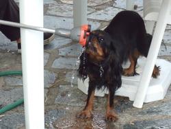 Galia, chien Cavalier King Charles Spaniel