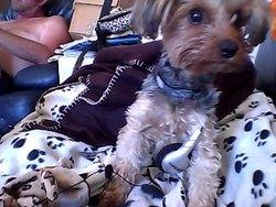 Galia, chien Yorkshire Terrier