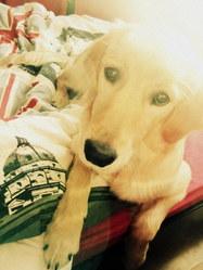 Galia, chien Golden Retriever