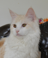 Galiane Du Pays De L'Angoumois, chat Maine Coon