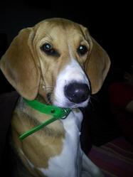 Galice, chien Anglo-Français de petite vénerie