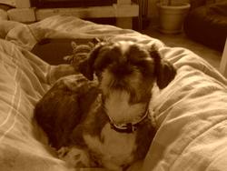 Galice, chien