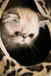 Galice Du Cercle Des Fées, chat Persan