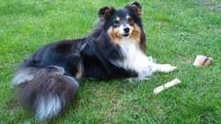 Galice, chien Berger des Shetland