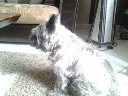 Galile, chien Cairn Terrier