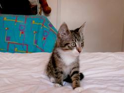 Galilé, chat Européen