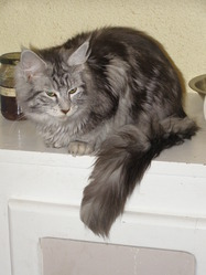 Galilée, chat Maine Coon