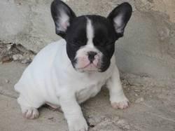 Galine, chien Bouledogue français