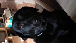 Galinette, chien Labrador Retriever