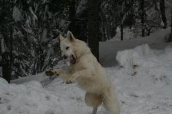 Galinka Du Domaine Du Chene Au Loup, chien Berger blanc suisse
