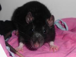 Galipette, rongeur Rat